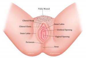 anatomy vulva vagina female genitals clitoris